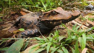 Krokodýl konžský - reportáž o expedici do Konga