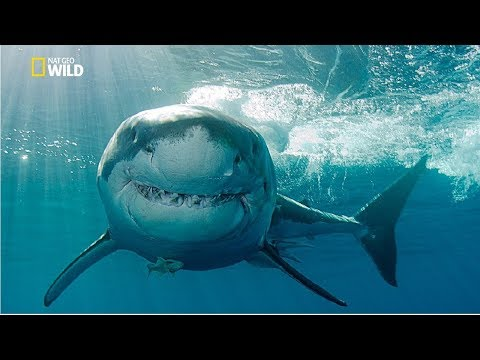 Gold Coast Shark Attacks [National Geographic Documentary HD 2017]