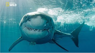 Gold Coast Shark Attacks [National Geographic Documentary HD 2017]