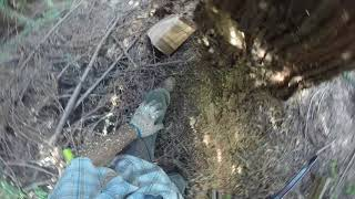 Husqvarna 572XP Vs. Redwood Hazard Tree