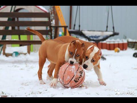 Американский стаффордширский терьер самая сильная собака в мире