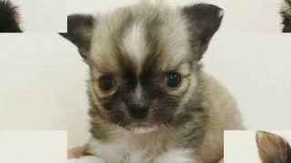 可愛いチワワ,ヨークシャテリア、柴犬の子犬の 写真を、アレンジして見...