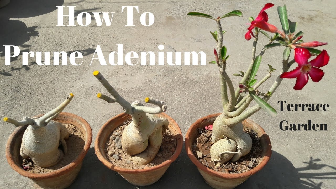 Adenium Pruning Best Time To Prune Adenium Plant In India And Tropics Terrace Garden Youtube