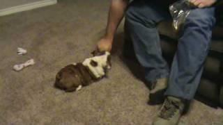 English Bulldog Puppy Tricks