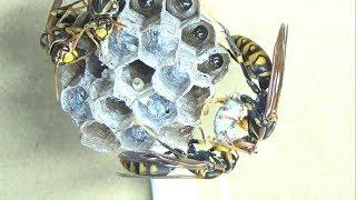 温泉のセグロアシナガバチの巣が大変なことになりました