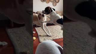 Beagle VS Foxhound