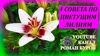 Лилии от этого обильно цветут и нарастят крупные луковицы. Уход за цветущими лилиями. Лилии.