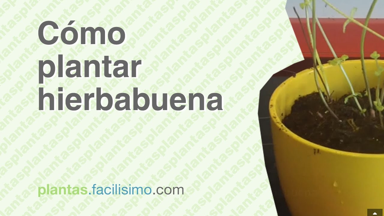 C mo plantar hierbabuena youtube for Cuidar hierbabuena en interior