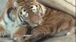 Riesen Katze bei der Fell Pflege
