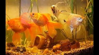 Мои домашние золотые рыбки в аквариуме