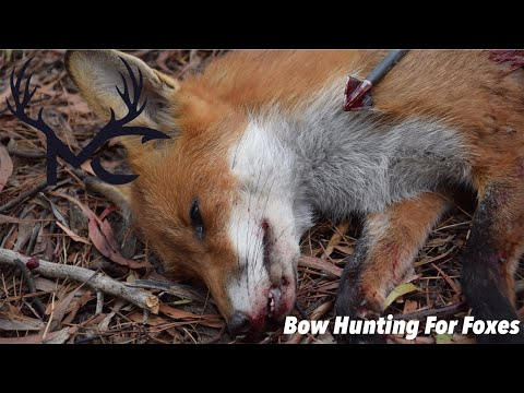 Bow Hunting For Foxes