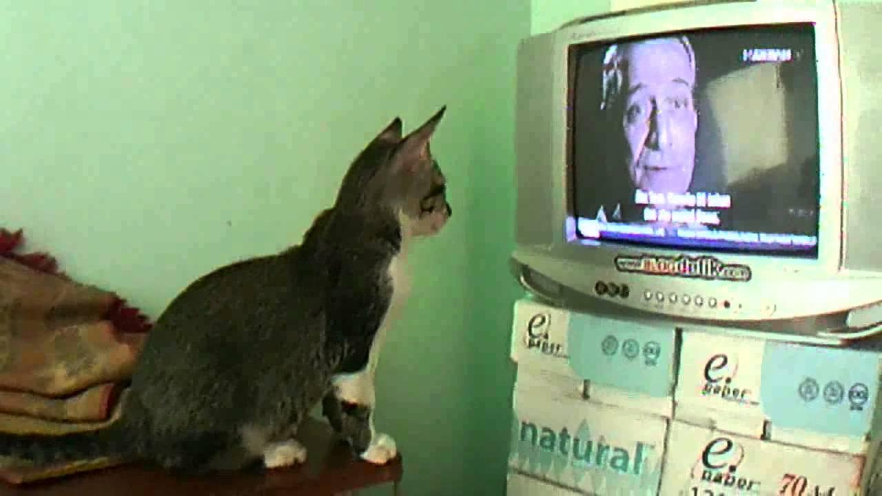 Download 93+ Gambar Kucing Nonton Tv Paling Bagus Gratis