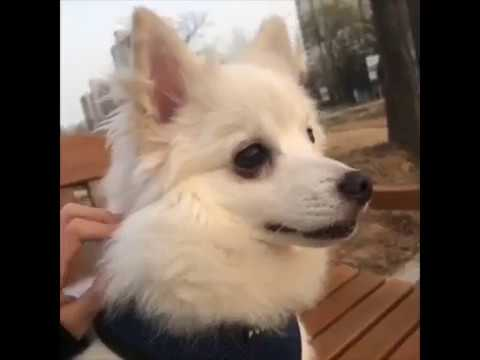 Japanese Spitz Dog Cute Video Clips January 2019 *NEW*
