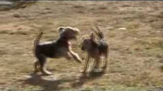 Welsh Terrier puppies - Blue and Red playing.