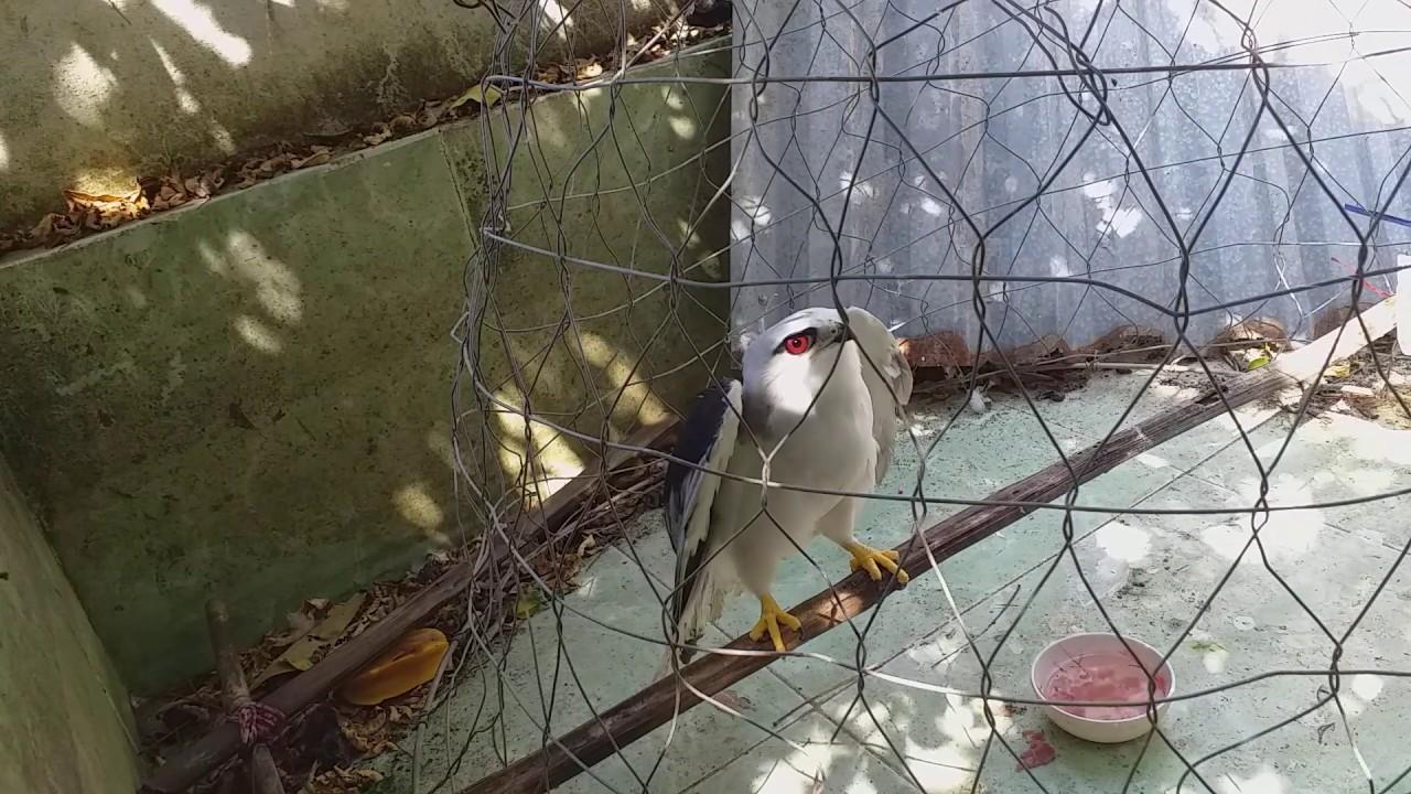 Thánh ăn mồi  |  diều hâu trắng mắt đỏ (Black-shouldered kite)