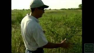 Bobwhite Quail: The Quail Question - Texas Parks and Wildlife [Official]