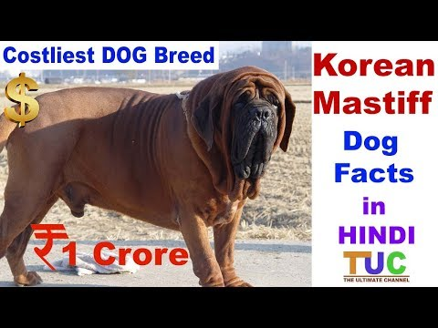 Korean Mastiff Dog Facts In Hindi : Costliest Dog Breed : Popular Dogs : The Ultimate Channel