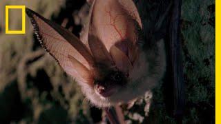 ウサギコウモリの研ぎ澄まされた聴力 |ナショジオ