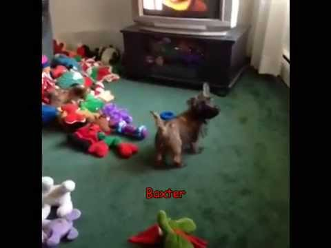 Cairn Terriers of YouTube Vol 1   Compilation