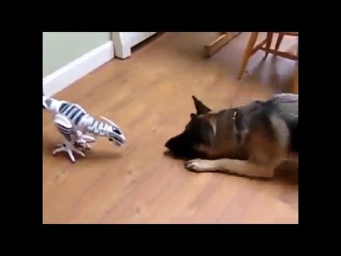 German Shepherd dog afraid of toy dinosaur
