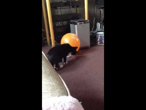 Cat jumps as balloon pops!