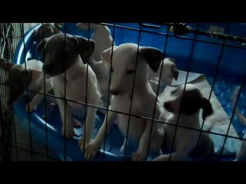 Italian Greyhound Pups Pulling Cats Tail | 7 Week old Italian Greyhoud Puppies