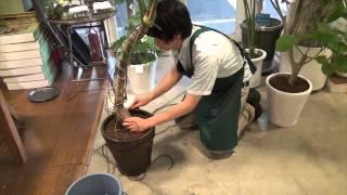 観葉植物や樹木の植え替え後に行う縄掛けの仕方 thumbnail