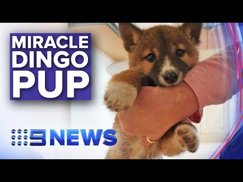 Stray Pup Discovered To Be Rare Mountain Dingo | Nine News Australia