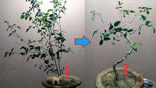How to Make A Jasmine Plant Bonsai || Braiding Of Multiple Branches In Jasmine (Juhi) Plant.