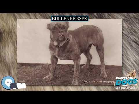 Bullenbeisser 🐶🐾 Everything Dog Breeds 🐾🐶