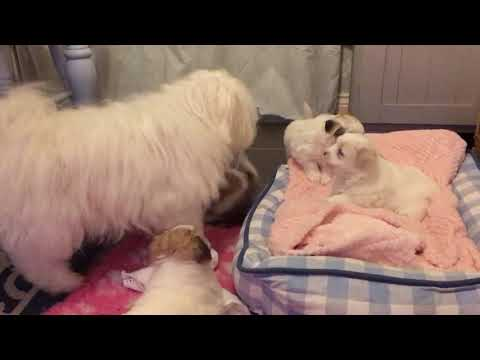 Gorgeous 7 week old puppies! - Coton de Tulear
