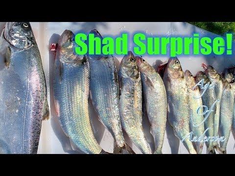 Shad Surprise!