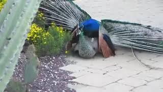 મોર અને  ઢેલ સેકસ मोर ओर मोरनी सेकस மயில் மற்றும் பீல் சக்ஸ் Peacock and Peel Sucks