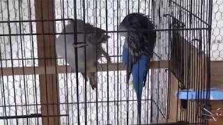 #60 2018 Breeding: Coby and Coco follow-up