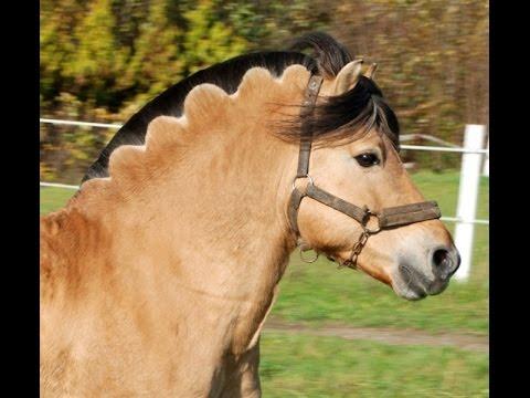 amazing-horse---norwegian-fjord-horse