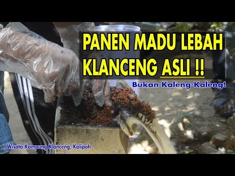 Panen MADU LEBAH KLANCENG Trigona Laeviceps | Harvest Trigona Laeviceps bee Honey