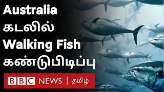 """Walking Fish in Australia: ஆஸ்திரேலியா கடலில் """"நடக்கும்"""" அதிசய மீன்"""