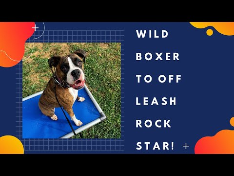 knoxville-dog-trainers---3-year-old-boxer-gets-manners-makeover!!