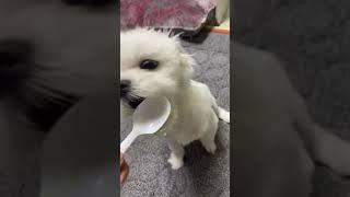 고구마 처음 먹어보는 강아지