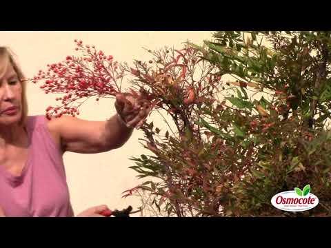 How To Harvest Nandina Berries
