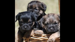 #45 BORDER TERRIER 1/3    | Which Dog Should I Get? Dog Breed Selector