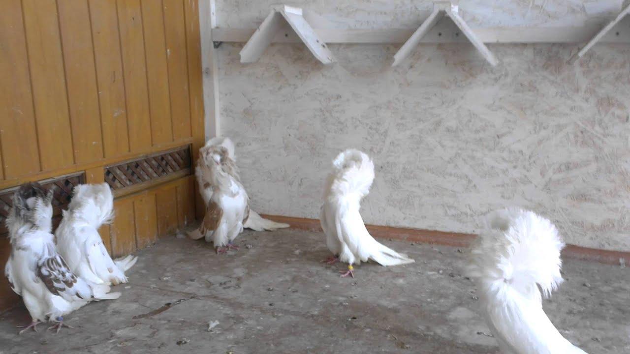 якобины голуби фото