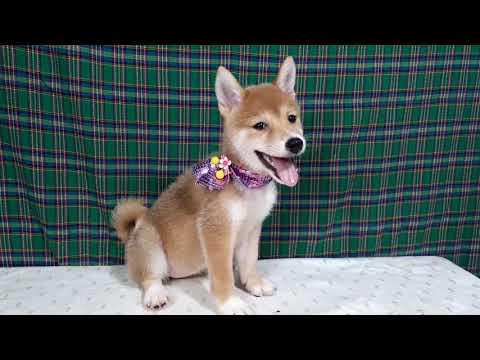 PuppyFinder.com : Jackie the Shiba Inu puppy