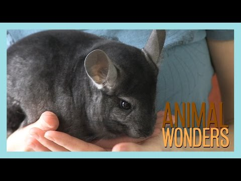 Chinchillas! What, Where, and How