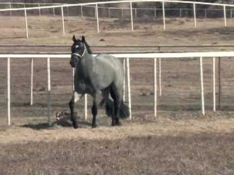 My Final Notice - AQHA Blue Roan Stallion