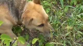 Моя собака Жуля пасется, она ест траву