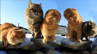#Koshlandia, Siberian Farm cats Зима в Кошляндии Winter in Koshlandia