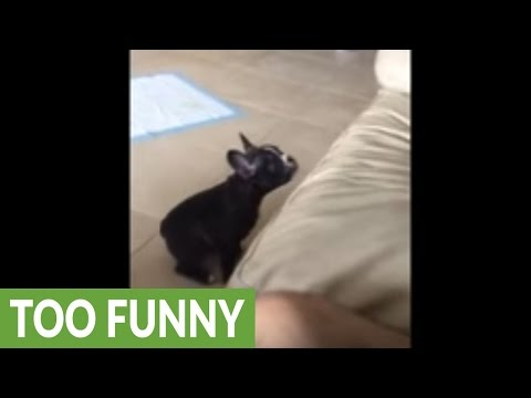 Puppy adorably fails at jumping on the couch