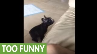 puppy-adorably-fails-at-jumping-on-the-couch