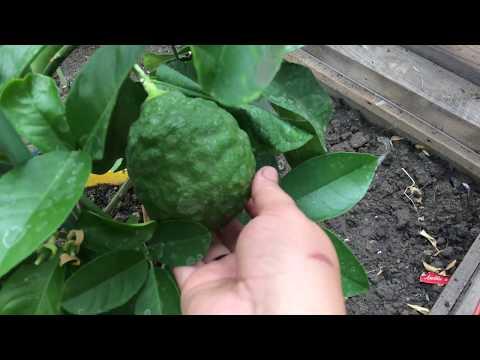 Обзор лимона Пандероза с плодами. 2019г. Marianablog.ru (МарианаБлог)